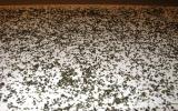 Семена крапивы 100 грамм упаковка
