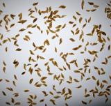 Семена чемерицы 10 г (больше 3000 шт)